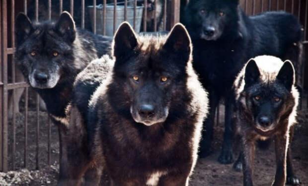 Волкособ: собака с волчьим характером