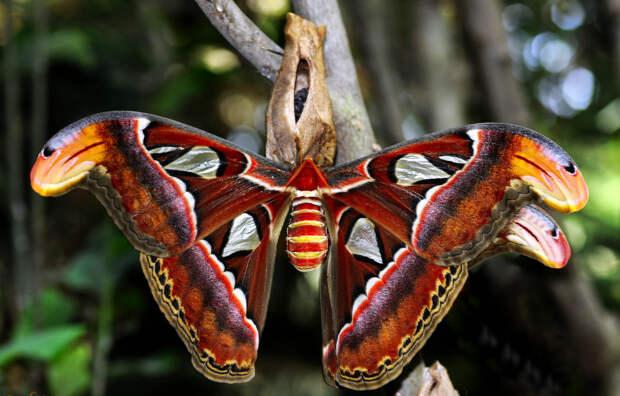 Attakus Atlas – самая крупная ночная бабочка, которую можно принять за птицу, т.к. размах ее крыльев - 30 см. бабочки, интересное, красота, насекомые