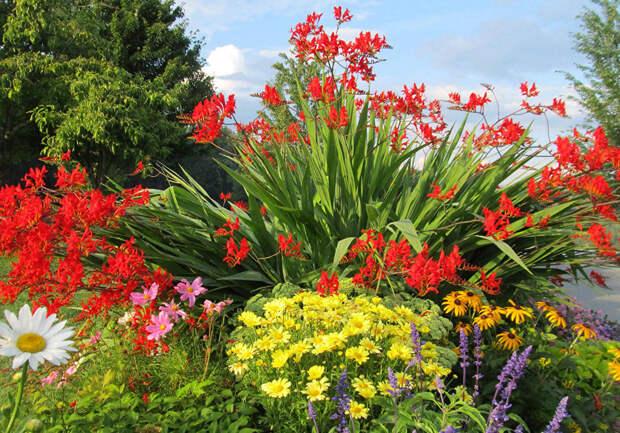 Многолетний садовый цветок Крокосмия (Crocosmia)