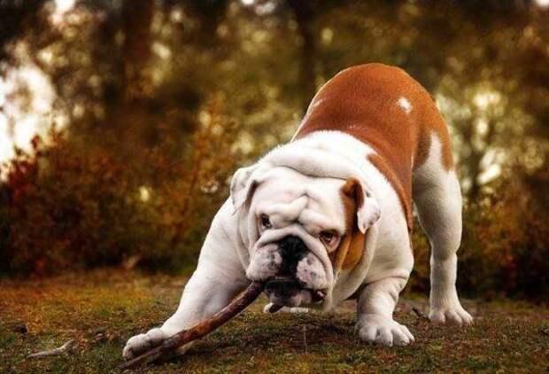 Английский бульдог больших, бульдог, до маленьких, питомец, породы, собак, такса