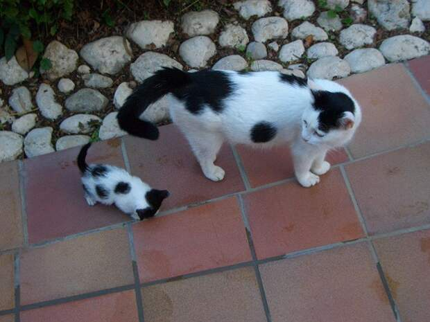Котята, которые выглядят точь в точь как их родители до последнего пятнышка