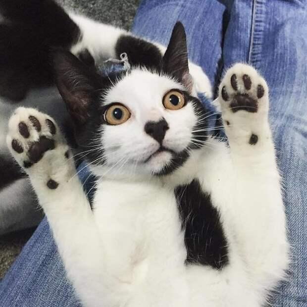 Джентльмен - с галстуком животные, забавно, коты, кошки, неожиданно, окрас, окрас кошек, фото