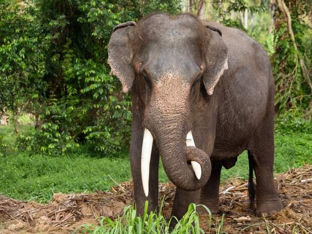 Слониха прикончила хозяина и спрятала тело животные, новости, слон, таиланд, трагедия, убийство, умышленное