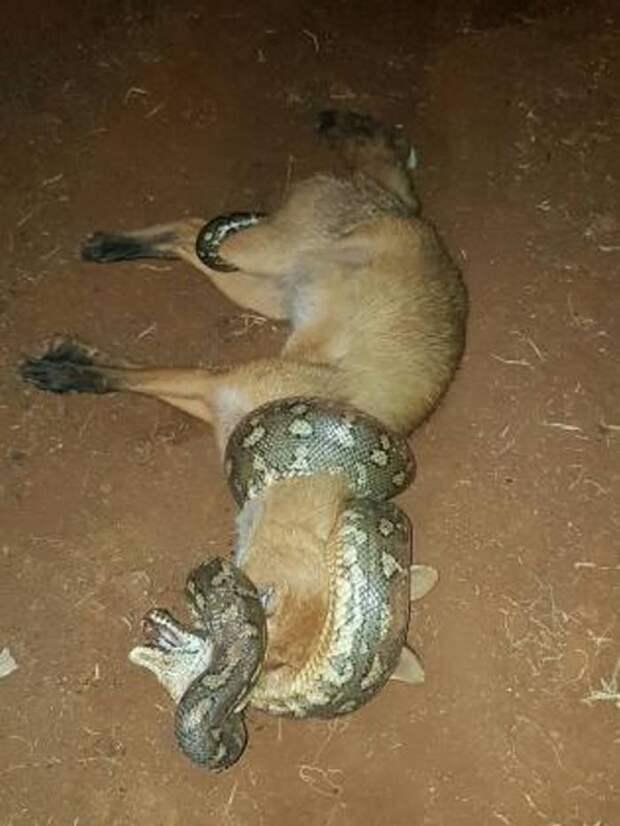 Когда охотник становится дичью: Питон поменялся ролями с лисой, пытающейся его съесть