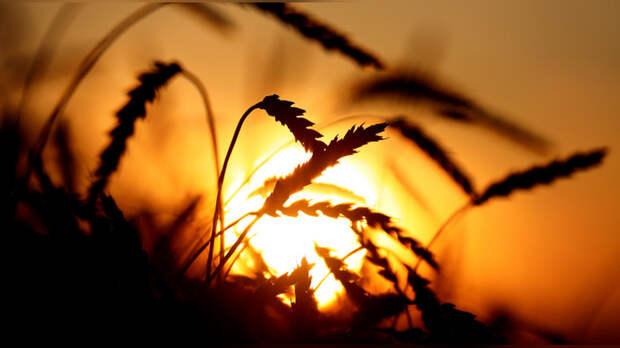 Bloomberg: урожайный сезон позволит России укрепить своё господство на мировом рынке пшеницы