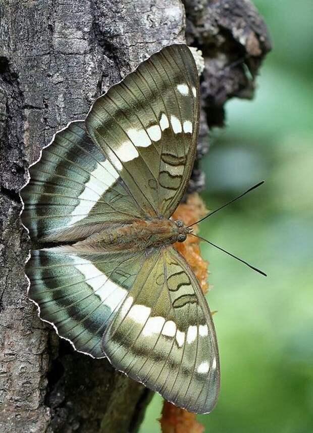 Гусеница кукурузного, или стеблевого, мотылька (Ostrinia nubilalis) выдерживает температуры до -80'C бабочки, интересное, красота, насекомые