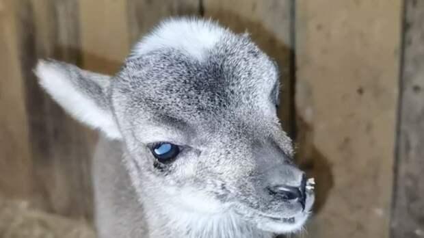 Барнаульский зоопарк пополнился маленьким муфлоном