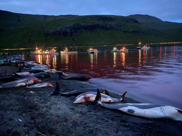 Полторы тысячи дельфинов убили на Фарёрах во время традиционной охоты