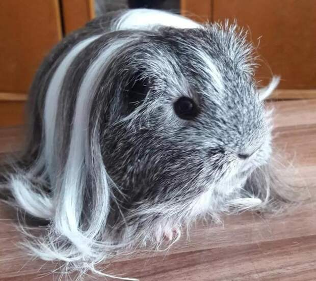 Невероятные причёски морских свинок