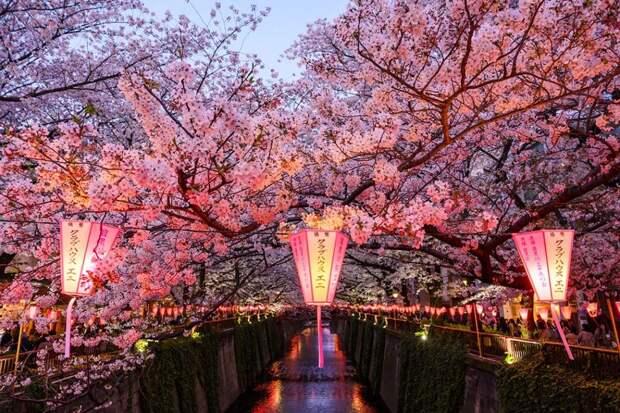 Праздник цветения сакуры в Токио. Фото взято из открытых источников