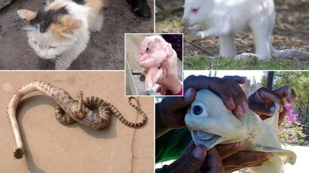 Странные животные, бросающие вызов законам природы – от акулы-циклопа до коровы с тремя глазами (Фото)
