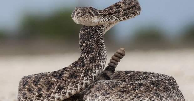 Секретное оружие прыгуна: как крошечный зверек противостоит гремучей змее