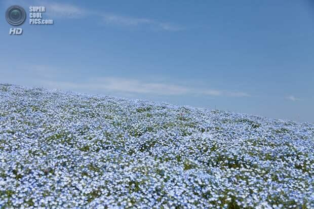 Япония. Хитатинака, Ибараки. Парк Хитачи-Сисайд. Весна. Цветение немофилы. (Yosuke Yamada)