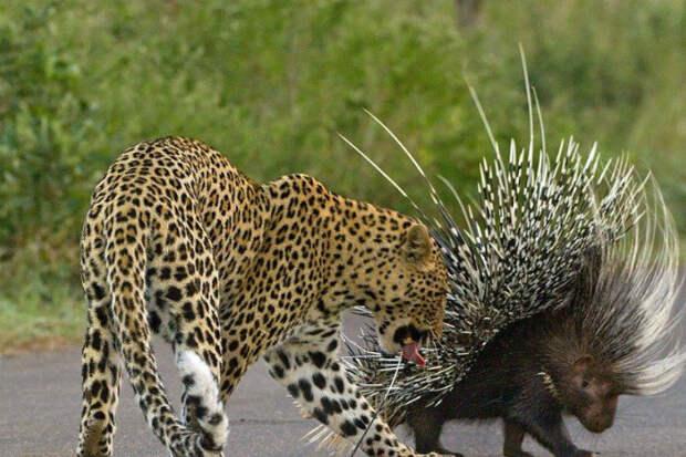 Глупый леопард начал охоту на дикобраза и пожалел об этом на всю жизнь