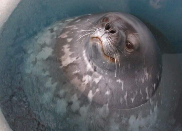 Тюлени Уэдделла пообщались с сородичами ультразвуком
