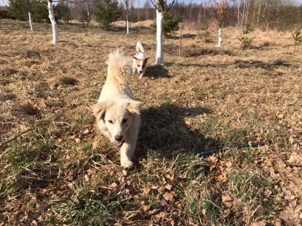 Мужчина наткнулся на измотанного песика, когда гулял со своей собакой волонтер, дворняга, маленькая собака, пес, порода, приют, собака
