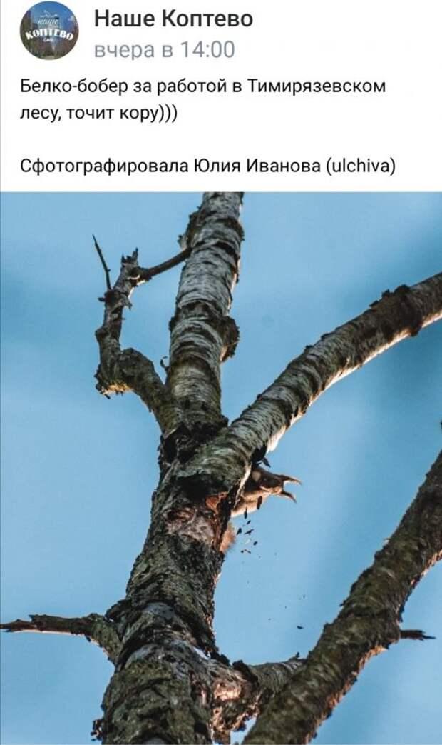 Фото дня: в Тимирязевском парке белка почувствовала себя бобром
