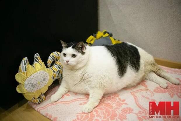 Самый толстый в Беларуси кот по кличке Перышко, весит 19 кг 600 грамм