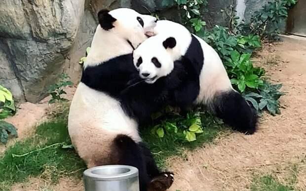 Китайские панды спарились от скуки