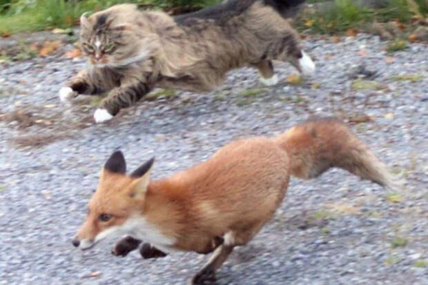 Лиса пришла за добычей и столкнулась со сторожевым котом