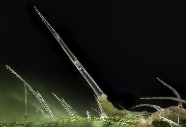 Про крапиву Макро, Макросъемка, Растения, Крапива