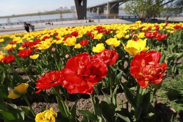 Тысячи тюльпанов расцвели на Михайловской набережной Новосибирска
