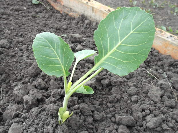 Рекомендации для отличной рассады капусты