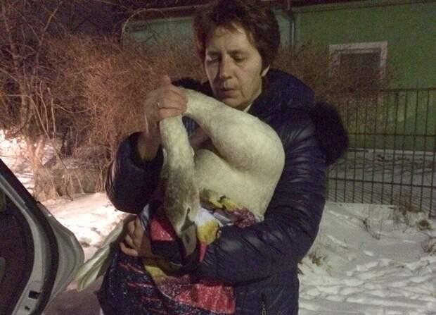 Калининградец спас со льда молодого лебедя