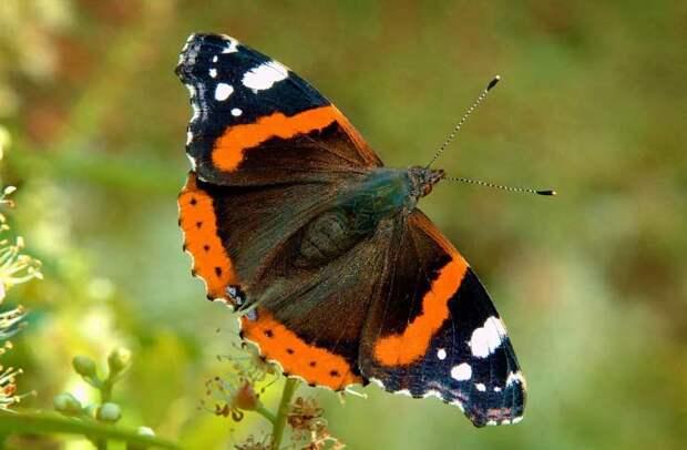 адмирал бабочка