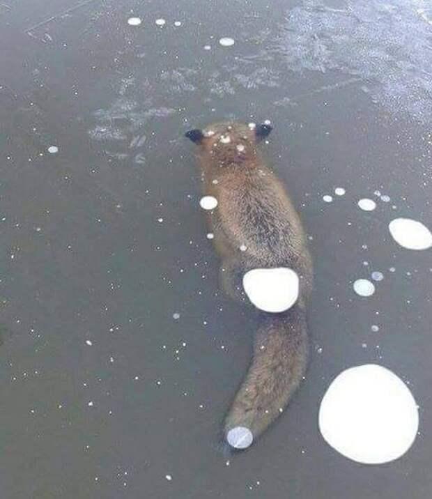 Лиса вмерзла в лед зима, лиса