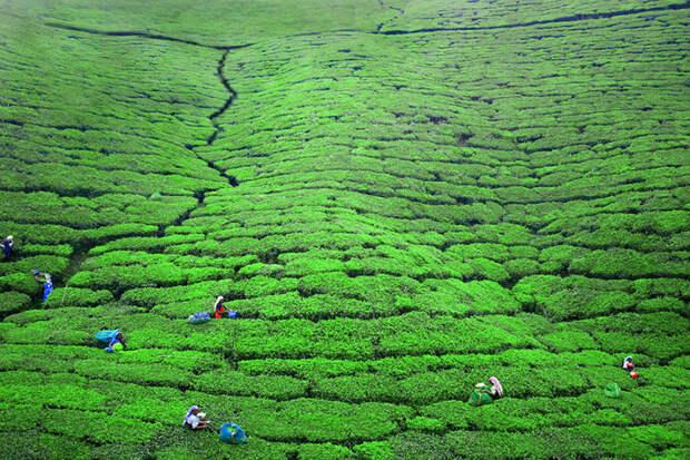 Женщины, работающие на чайной плантации. Нувара Элия, Шри-Ланка красота, путешествия, фото