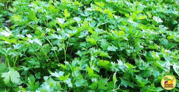 Сочная зелень петрушки