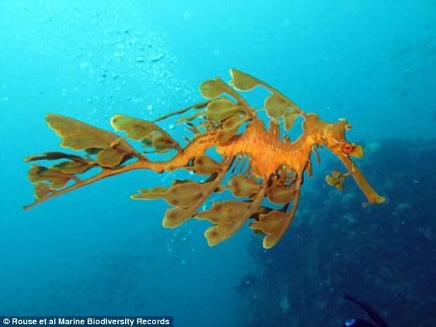 Редчайшего рубинового морского дракона впервые удалось снять на видео редкие рыбы, рубиновый морской дракон