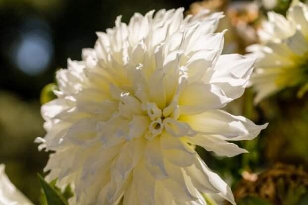 15 сортов георгинов, которые украсят ваш сад