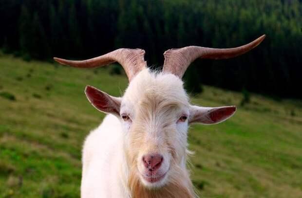 Теперь козел Филя – гаишник