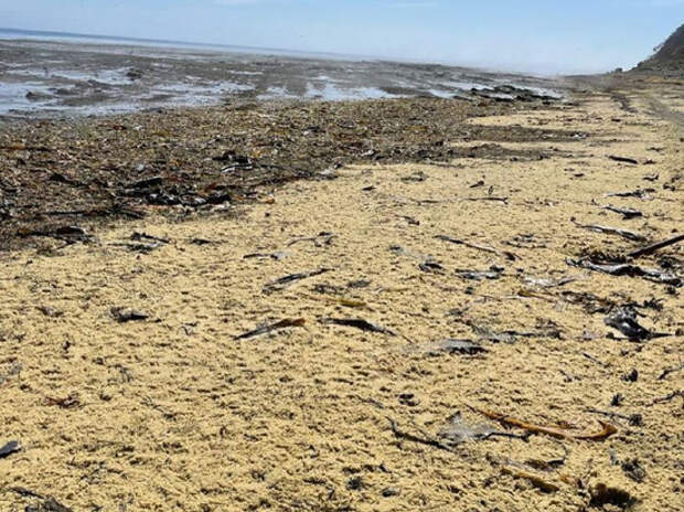 Сахалинцы удобряют огороды выброшенной на берег икрой