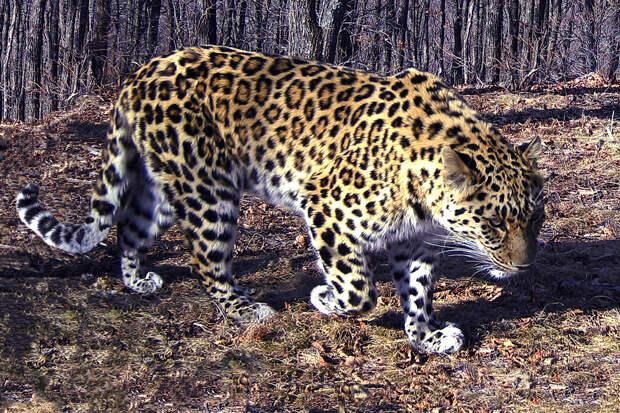Леопард вышел из леса к жителям Приморья