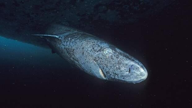 12. Гренландские акулы