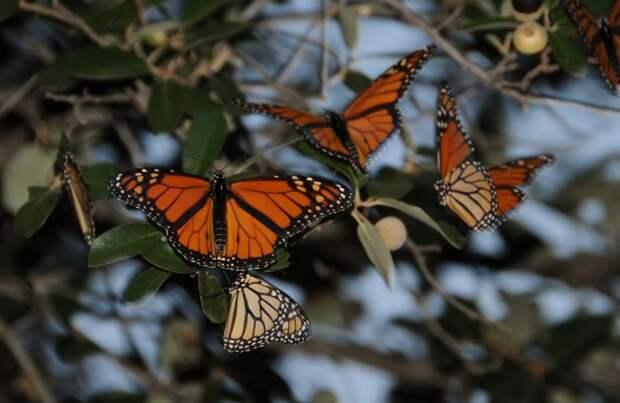 Численность бабочек-монархов стремительно сокращается