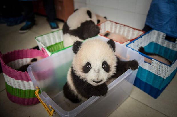 Как выращивают панд