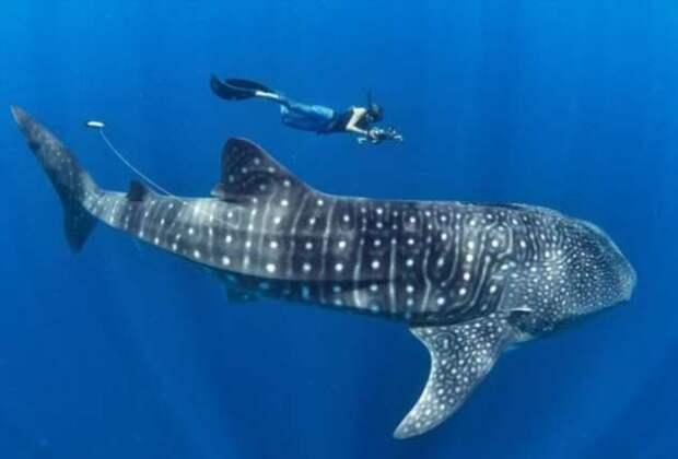 В глазах китовых акул обнаружены зубы (3 фото + видео)