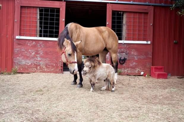 Миниатюрная лошадка по кличке Шэмми