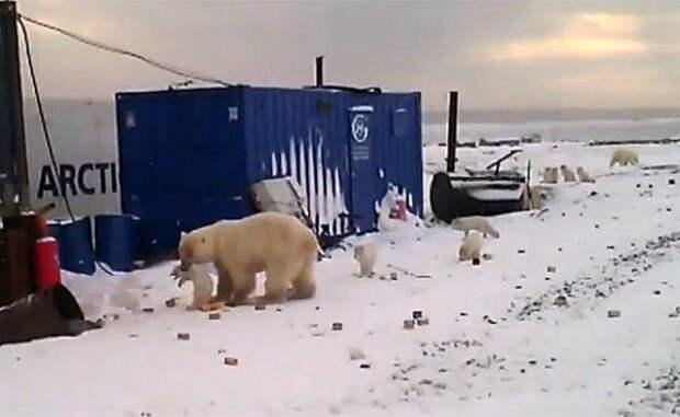 Белый медведь превратил обычный поселок в территорию охоты. Смотрите сами, что он сделал дальше!