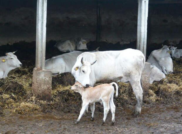 В Индии принялись защищаться от коронавируса навозом священных коров