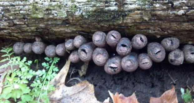 «Пальцы мертвецов» — самые странные и жуткие грибы