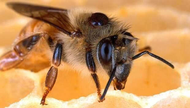 В Подмосковье создадут первый племенной репродуктор по разведению пчел