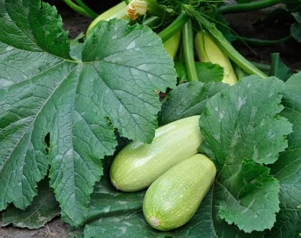 Как продлить плодоношение кабачков