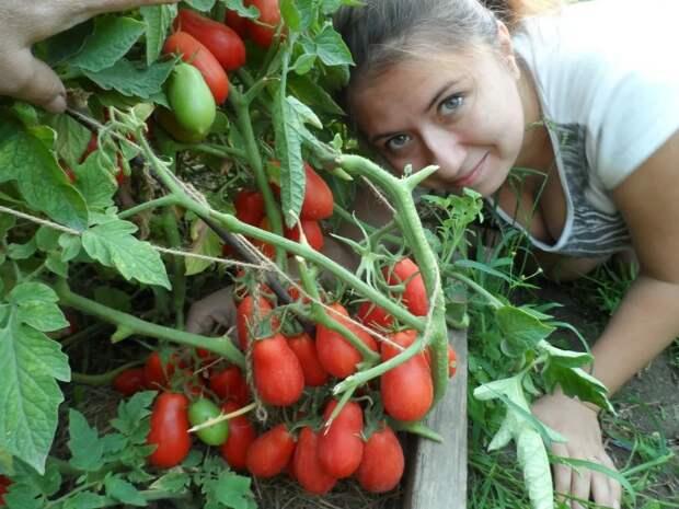 Хороший урожай помидор. 10 секретов для хорошего урожая. Так садила моя бабушка и урожай был огромный