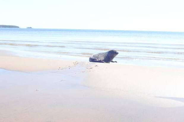 В Петербурге выпустили на волю спасенного тюленя Валдая