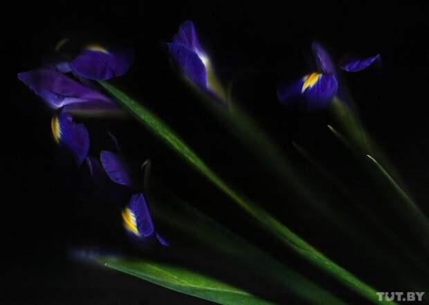 Ирис гвоздика, интересно, растение, роза, тюльпан, факты, цветок, цветы